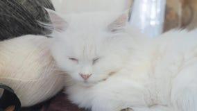 Παλαιός άσπρος ύπνος γατών στον πίνακα δίπλα στον τρόπο ζωής σφαιρών για το πλέξιμο παλαιά όμορφη άσπρη συνεδρίαση γατών από απόθεμα βίντεο