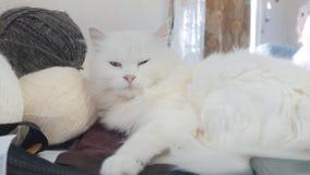 Παλαιός άσπρος ύπνος γατών στον τρόπο ζωής ο πίνακας δίπλα στις σφαίρες για το πλέξιμο παλαιά όμορφη άσπρη συνεδρίαση γατών από φιλμ μικρού μήκους