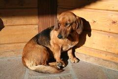 παλαιός ήλιος σκυλιών στοκ εικόνες με δικαίωμα ελεύθερης χρήσης