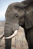 Παλαιός αρσενικός ελέφαντας Στοκ εικόνα με δικαίωμα ελεύθερης χρήσης