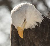 Παλαιός βορειοαμερικανικός φαλακρός αετός που υποκύπτει το κεφάλι του στοκ εικόνα