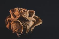 Παλαιός και ξηρός αυξήθηκε στο μαύρο υπόβαθρο στοκ φωτογραφία με δικαίωμα ελεύθερης χρήσης
