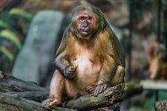 Παλαιός καφετής πίθηκος Στοκ εικόνα με δικαίωμα ελεύθερης χρήσης