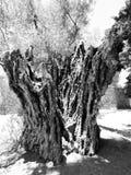 παλαιός κορμός δέντρων σε ένα πάρκο στοκ φωτογραφία με δικαίωμα ελεύθερης χρήσης