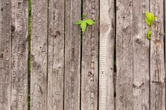 Παλαιός ξύλινος φράκτης με τους βλαστούς κισσών Στοκ φωτογραφία με δικαίωμα ελεύθερης χρήσης