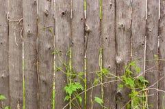 Παλαιός ξύλινος φράκτης με τους βλαστούς κισσών Στοκ Φωτογραφίες