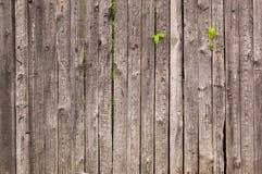 Παλαιός ξύλινος φράκτης με τους βλαστούς κισσών Στοκ εικόνα με δικαίωμα ελεύθερης χρήσης