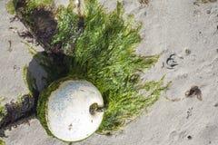 Παλαιός σημαντήρας στη χαμηλή παλίρροια που καλύπτεται με τα πράσινα άλγη, στη χαμηλή ακτή παλίρροιας Στοκ Εικόνες
