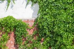 Παλαιός τοίχος πετρών με τον κισσό ως υπόβαθρο στοκ εικόνα