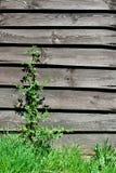 παλαιός τοίχος φυτών ξύλινος Στοκ Εικόνες