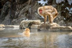 Παλαιός υγρός πίθηκος Στοκ Εικόνες