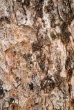 Παλαιός φλοιός της τροπικής μακροεντολής δέντρων Στοκ Φωτογραφία