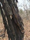Παλαιός χαλασμένος κορμός δέντρων, μαύρος φλοιός, κινηματογράφηση σε πρώτο πλάνο autumnal forest Στοκ Φωτογραφία