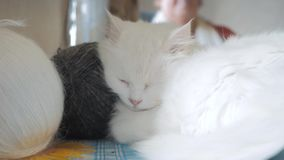 Παλαιός ύπνος γατών τρόπου ζωής άσπρος στον πίνακα δίπλα στις σφαίρες για το πλέξιμο παλαιά όμορφη άσπρη συνεδρίαση γατών από απόθεμα βίντεο