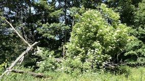 Παλαιότερο άνθος δέντρων στη φύση r απόθεμα βίντεο