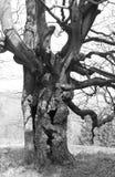 Παλαιό ανατριχιαστικό δέντρο στοκ εικόνα