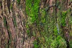 παλαιό δάσος σύστασης Στοκ Εικόνα
