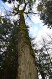 Παλαιό δέντρο κέδρων που καλύπτεται στο βρύο στοκ φωτογραφίες με δικαίωμα ελεύθερης χρήσης