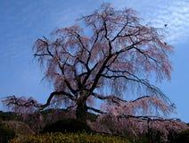 παλαιό δέντρο κερασιών Στοκ Εικόνες