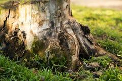 παλαιό δέντρο κολοβωμάτω& Στοκ φωτογραφία με δικαίωμα ελεύθερης χρήσης
