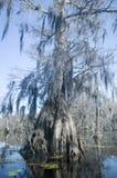 παλαιό δέντρο κυπαρισσιών στοκ εικόνες