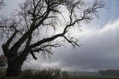Παλαιό δέντρο λευκών με τους τρομακτικούς γυμνούς κλάδους δίπλα σε έναν τομέα ενάντια Στοκ Φωτογραφία