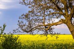 Παλαιό δέντρο ξύλων καρυδιάς χωρίς φύλλα στο υπόβαθρο ενός κίτρινου τομέα που σπέρνεται με το βιασμό, και μπλε ουρανός στοκ εικόνα
