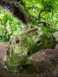 Παλαιό δέντρο οξιών στο ξύλο Στοκ φωτογραφίες με δικαίωμα ελεύθερης χρήσης