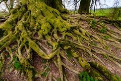 Παλαιό δέντρο οξιών Στοκ Εικόνες