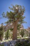 παλαιό δέντρο πεύκων Στοκ φωτογραφία με δικαίωμα ελεύθερης χρήσης