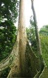 παλαιό δέντρο πολύ Στοκ Εικόνες