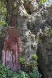 Παλαιό δέντρο που στάζει μια κόκκινη ρητίνη Στοκ Εικόνα