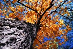 παλαιό δέντρο πτώσης λευκών Στοκ Εικόνες