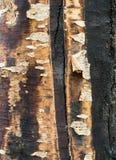 Παλαιό δέντρο σημύδων με τον πολύχρωμο φλοιό Στοκ Εικόνες