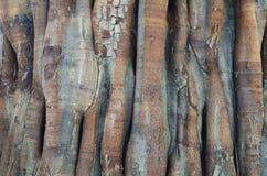 Παλαιό δέντρο στην Ασία Στοκ Φωτογραφία