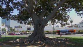 Παλαιό δέντρο στη Beverly Gardens Park - ΚΑΛΙΦΟΡΝΙΑ, ΗΠΑ - 18 ΜΑΡΤΊΟΥ 2019 φιλμ μικρού μήκους