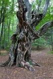 Παλαιό δέντρο στο δάσος Στοκ Εικόνες