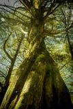 Παλαιό δέντρο στο ξεχασμένο δάσος Στοκ φωτογραφία με δικαίωμα ελεύθερης χρήσης