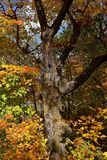 Παλαιό δέντρο σφενδάμνου με τα φύλλα που επιδεικνύουν το χρωματισμό φθινοπώρου Στοκ Εικόνες