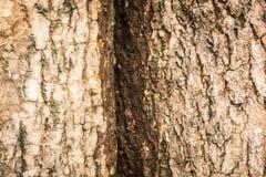 παλαιό δέντρο σύστασης λευκών φλοιών Στοκ φωτογραφία με δικαίωμα ελεύθερης χρήσης