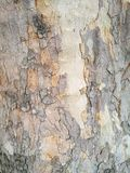 παλαιό δέντρο σύστασης λευκών φλοιών Στοκ εικόνα με δικαίωμα ελεύθερης χρήσης