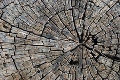 παλαιό δέντρο τμημάτων Στοκ Φωτογραφίες