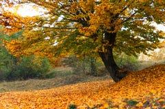 Παλαιό δέντρο, τοπίο φθινοπώρου Στοκ Εικόνες
