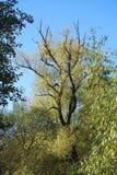 Παλαιό δέντρο φθινοπώρου, Λιθουανία Στοκ Εικόνες
