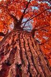 παλαιό δέντρο φθινοπώρου Στοκ Εικόνα