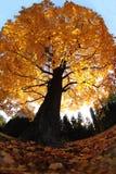 παλαιό δέντρο φθινοπώρου Στοκ εικόνες με δικαίωμα ελεύθερης χρήσης