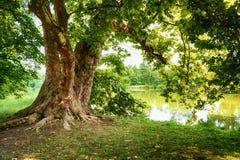 Παλαιό δρύινο δέντρο στοκ φωτογραφία