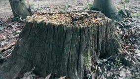 Παλαιό εγκαταλειμμένο κολόβωμα δέντρων στα ξύλα απόθεμα βίντεο