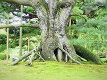 Παλαιό ιαπωνικό πεύκο-δέντρο στον κήπο Στοκ Φωτογραφία