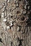 παλαιό κόκκινο κομψό δέντρ&omic Στοκ Εικόνες